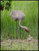 Brolga Crane and Chicks
