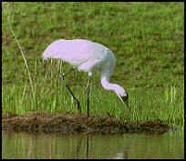 Whooping Crane standing over nest.